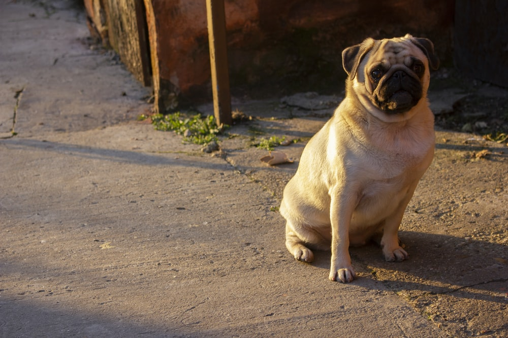 fawn pug sitting on the ground