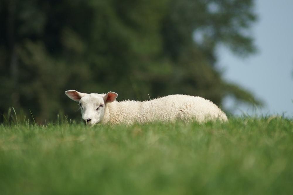 white sheep lying on green grass during daytime