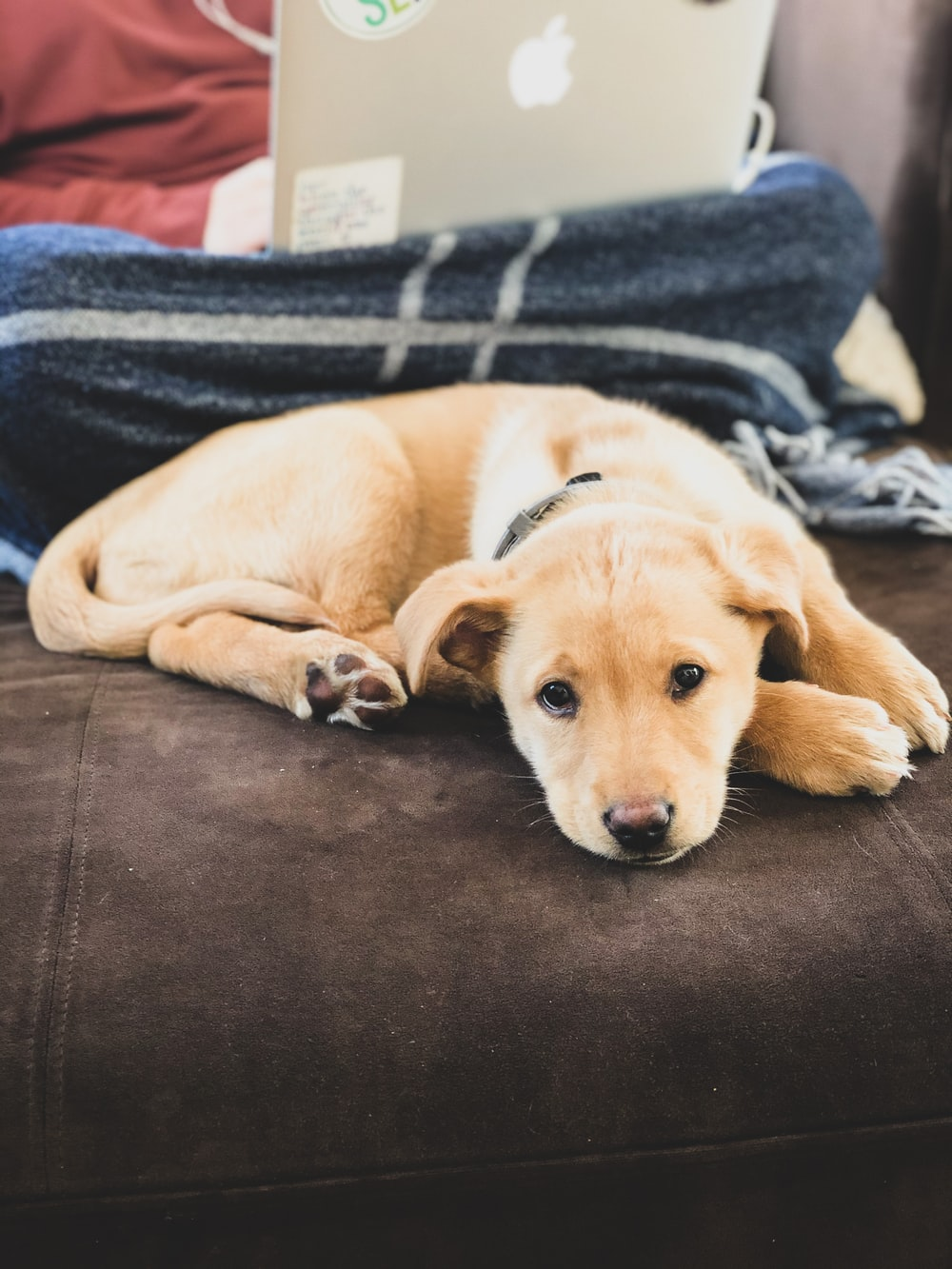 yellow labrador retriever lying on black couch