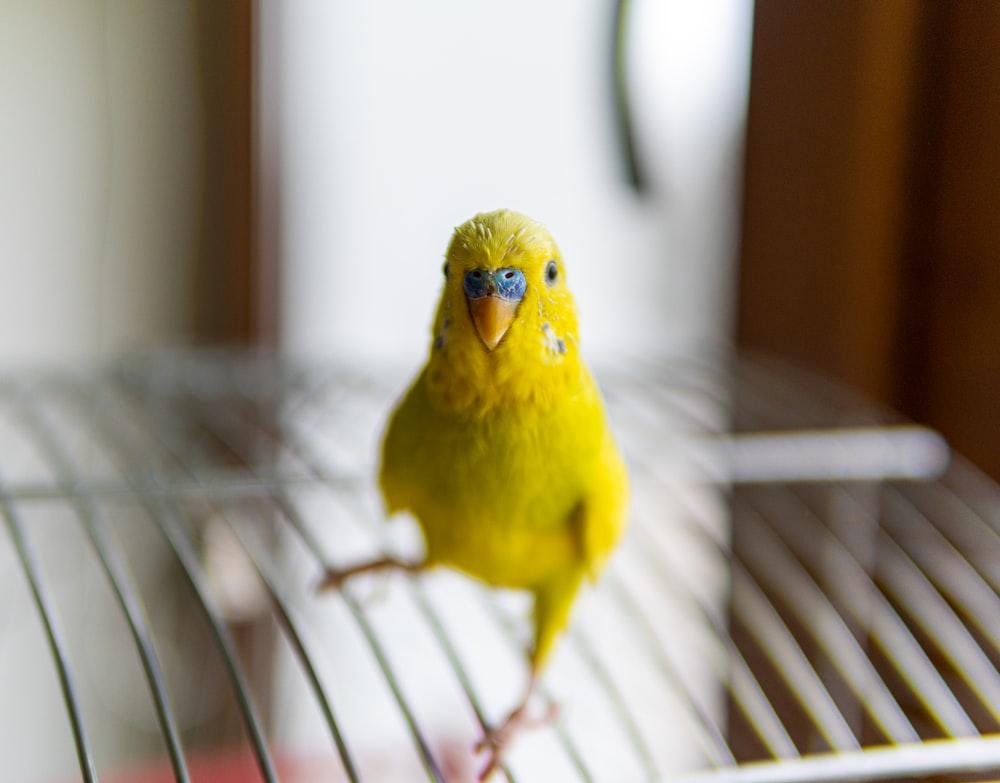 yellow bird on white metal bird cage