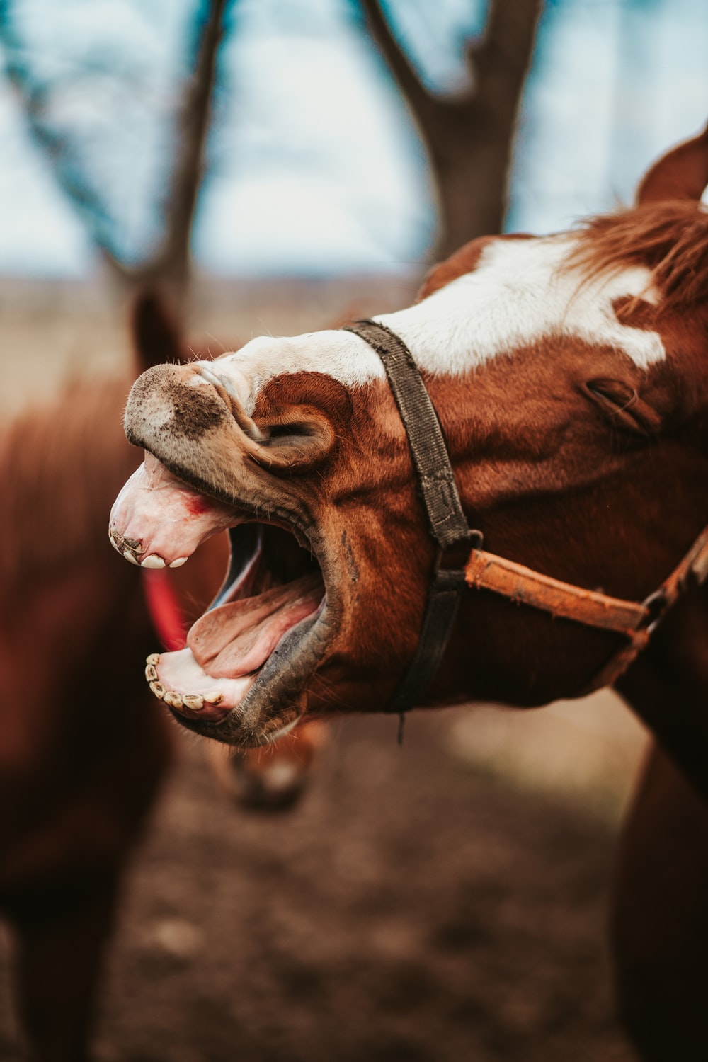 brown and white horse showing mouth