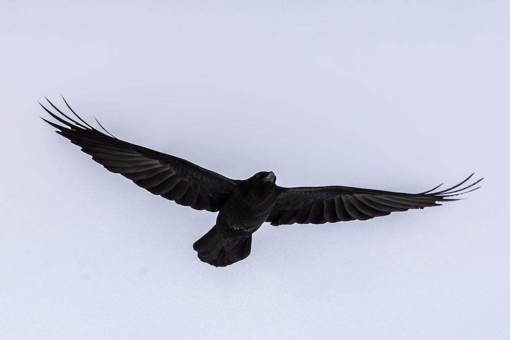 black bird flying during daytime