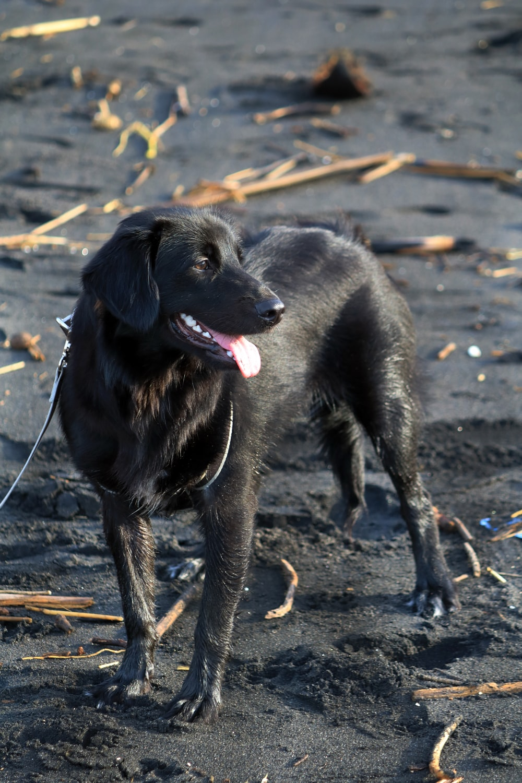 black labrador retriever puppy on brown sand during daytime