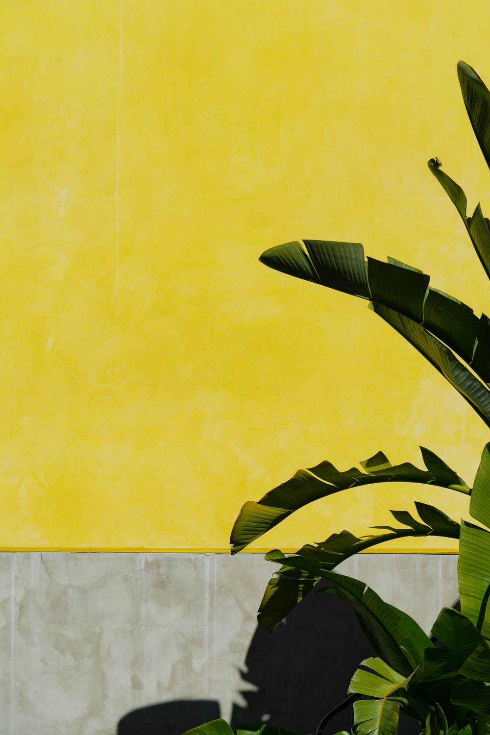green banana tree beside yellow painted wall