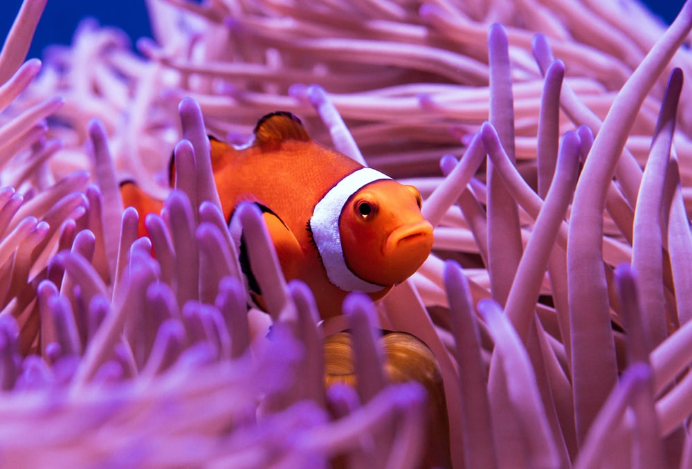 clown fish in purple and white coral reef