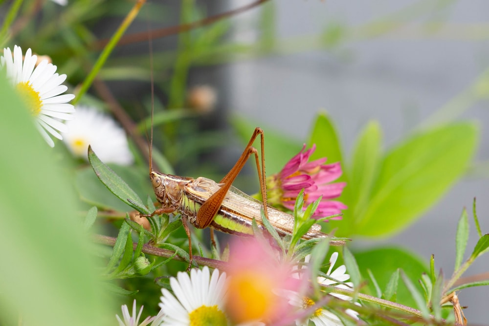 brown grasshopper perched on pink flower in close up photography during daytime