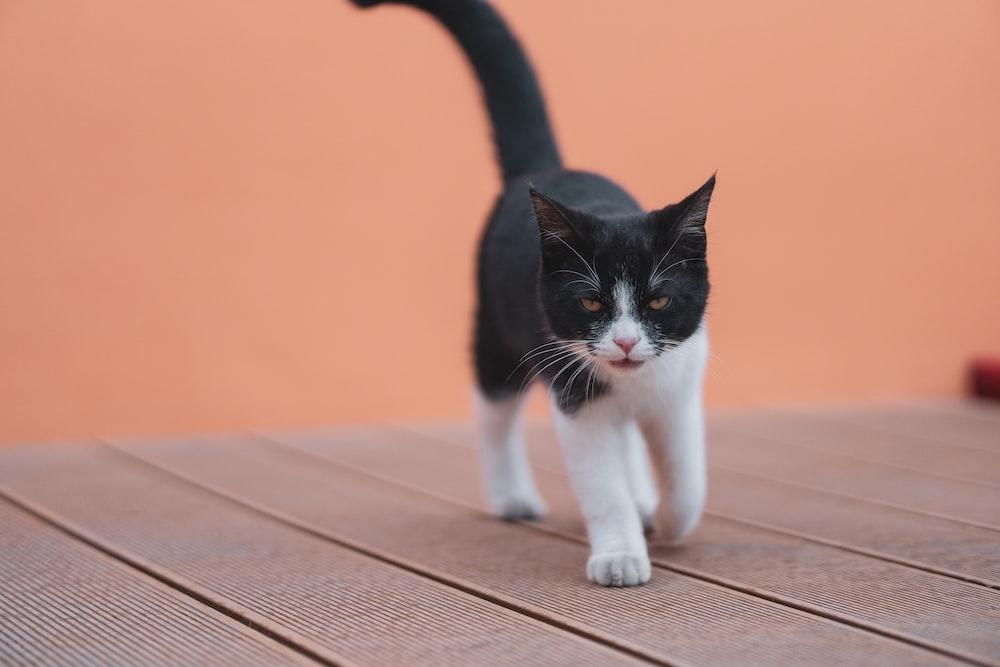 tuxedo cat on brown wooden floor