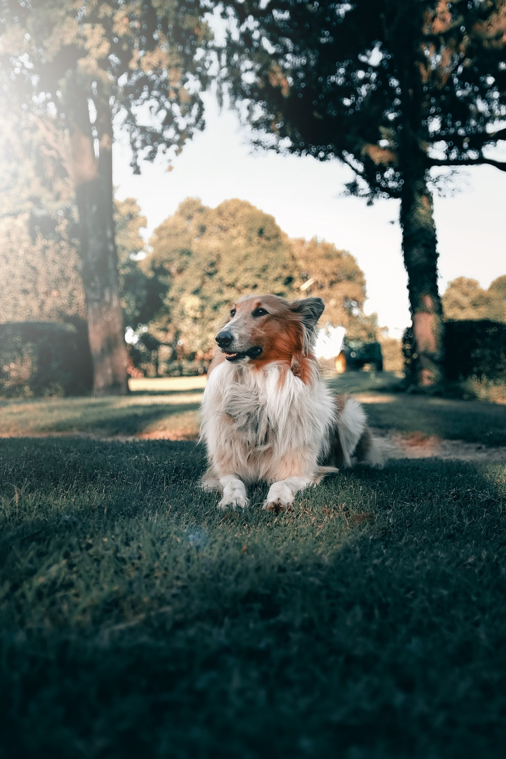 white and brown long coated dog sitting on ground during daytime