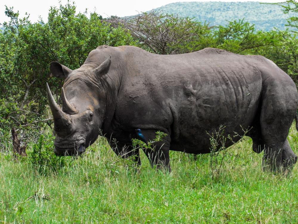 black rhinoceros on green grass field during daytime