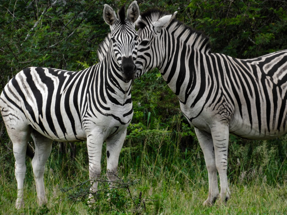 zebra standing on green grass field during daytime
