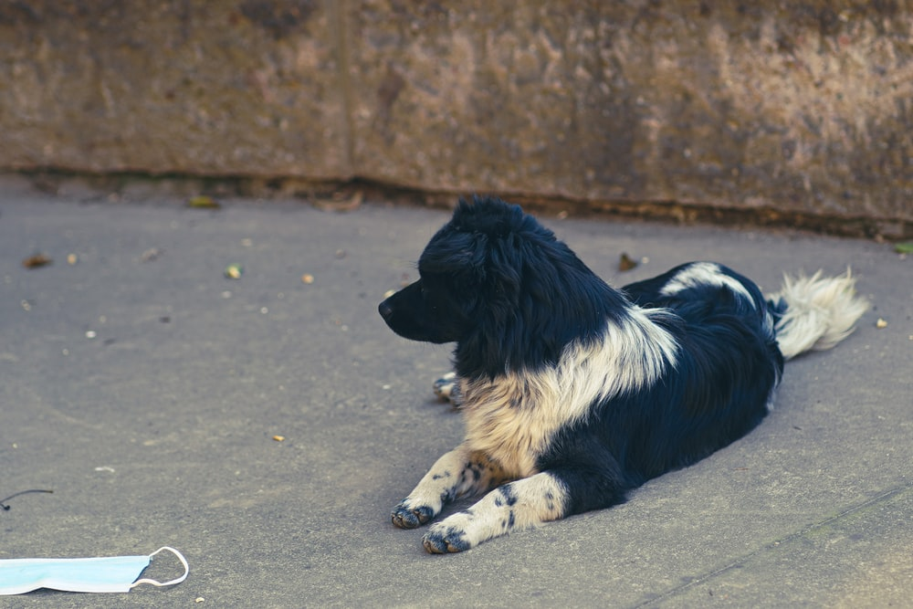 black and white border collie lying on the street