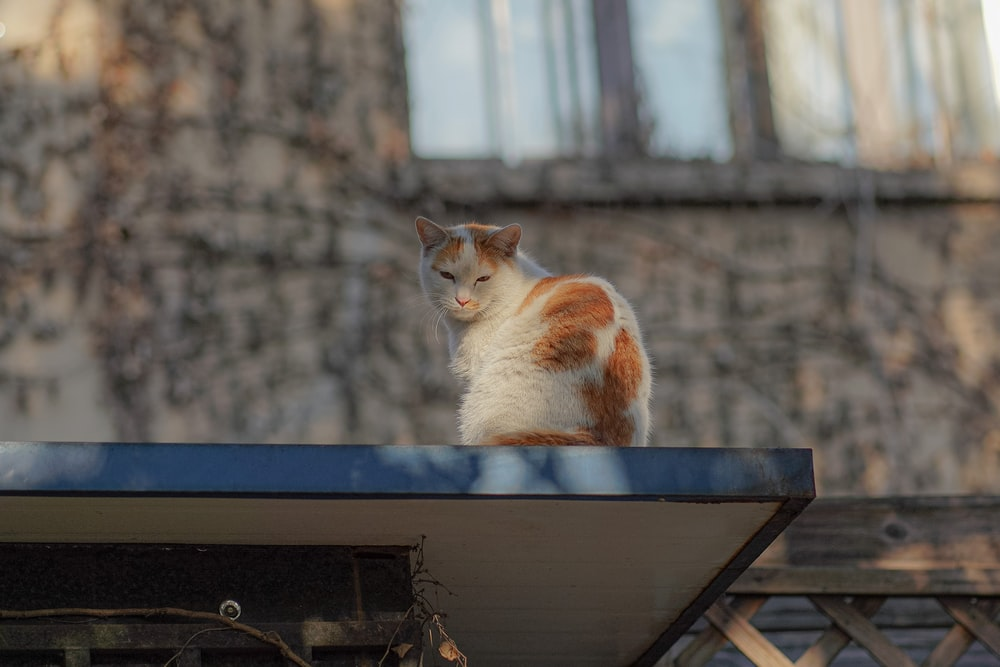 white and orange cat on black wooden table