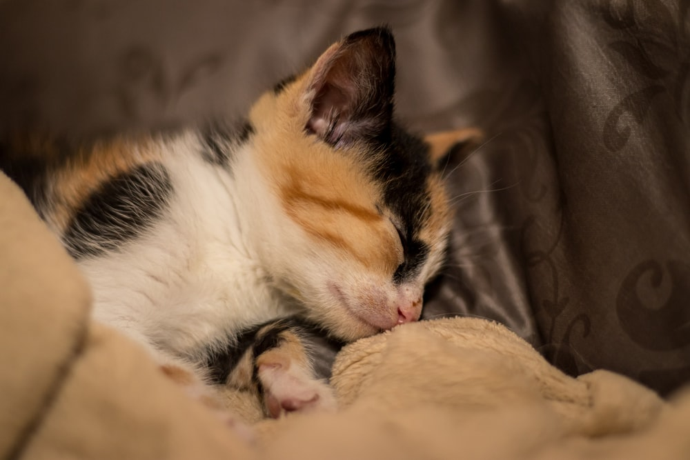white black and orange cat lying on brown textile
