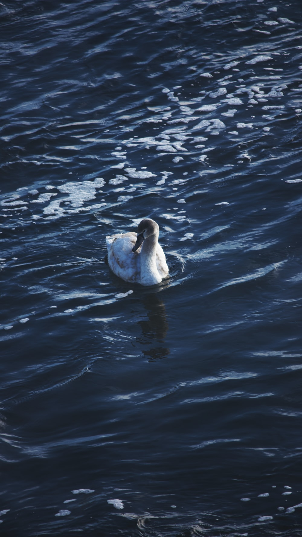white duck on body of water during daytime