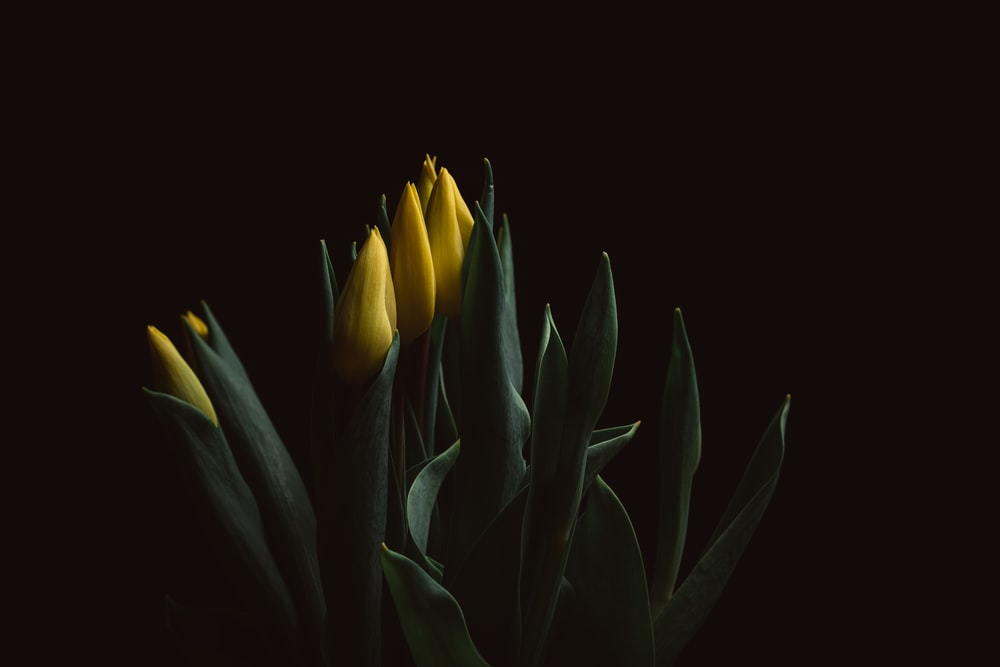 yellow tulips in bloom close up photo