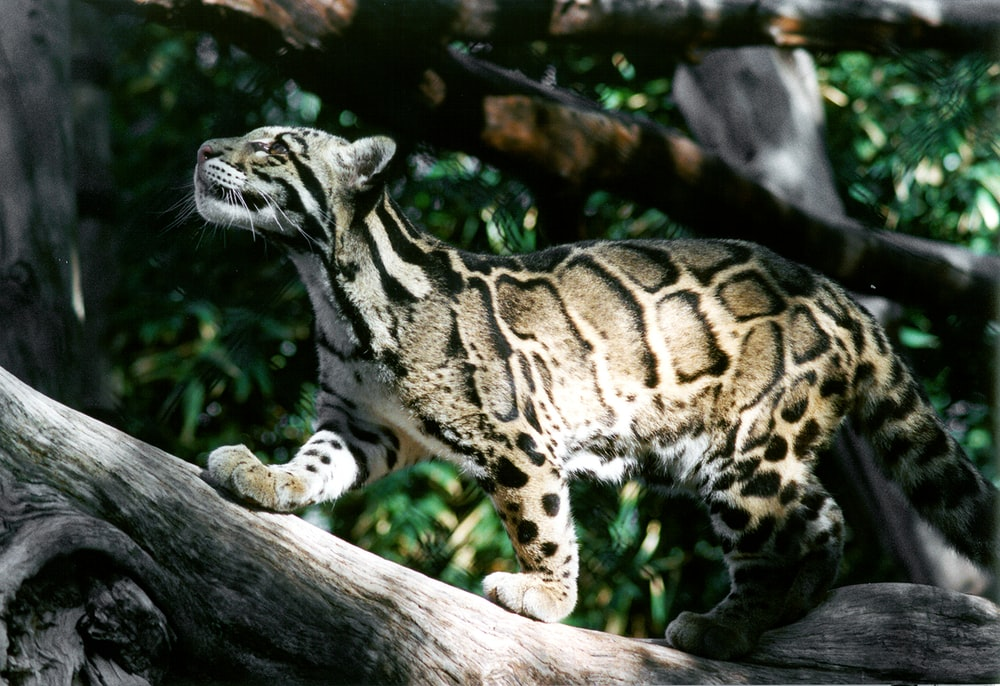 brown and black leopard on brown wooden log