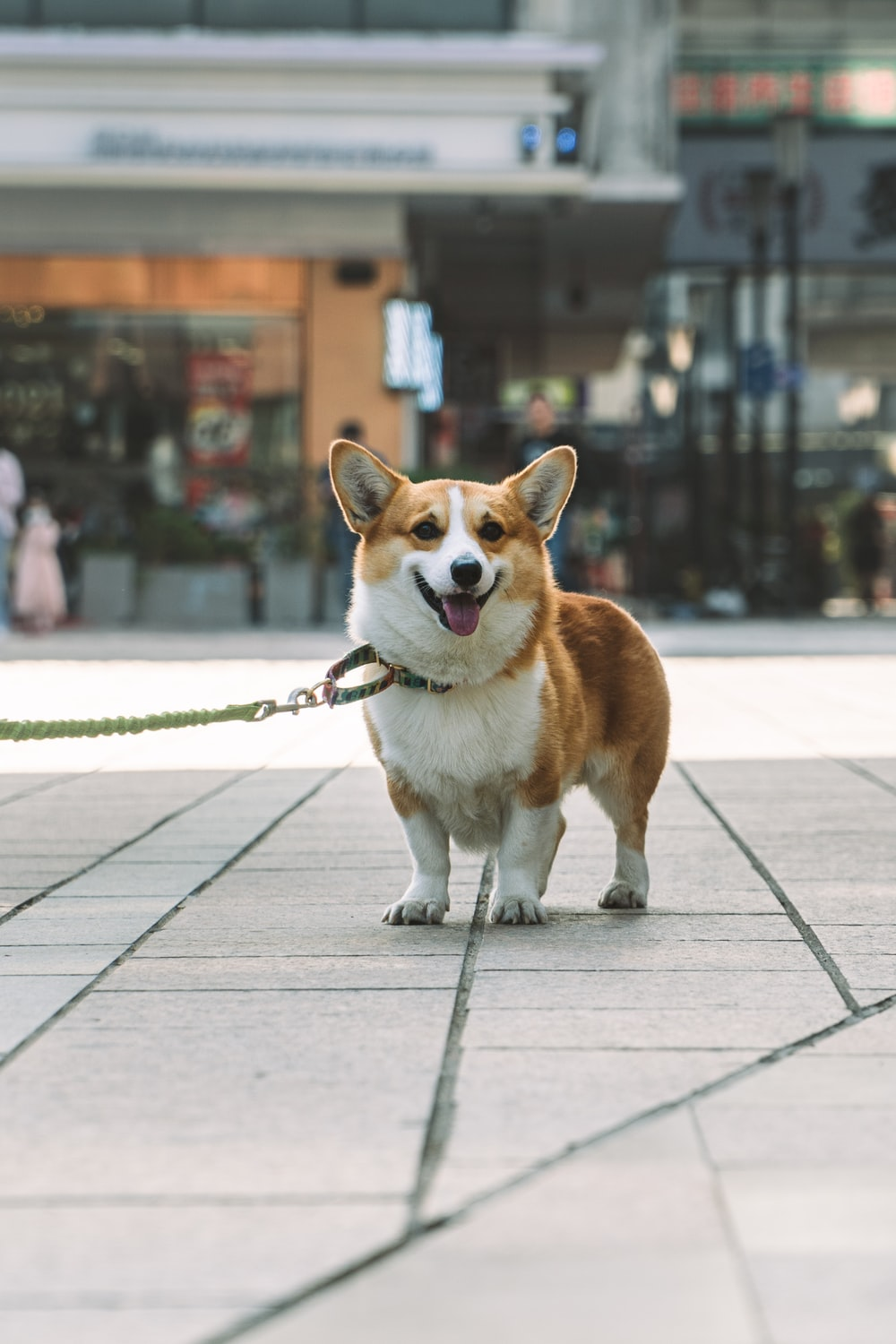 brown and white corgi puppy on gray concrete floor during daytime