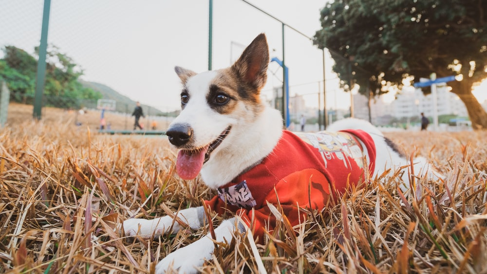 white and brown short coated dog wearing red and white santa hat