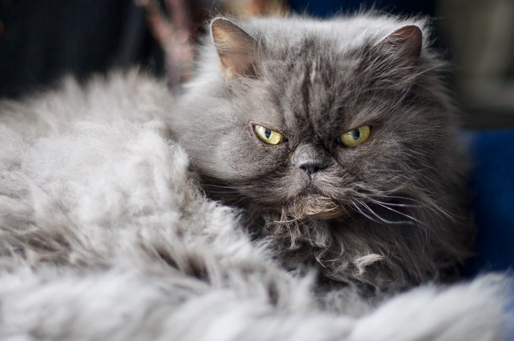 gray and white persian cat on white textile