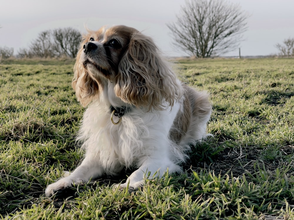 white and brown long coated dog on green grass field during daytime