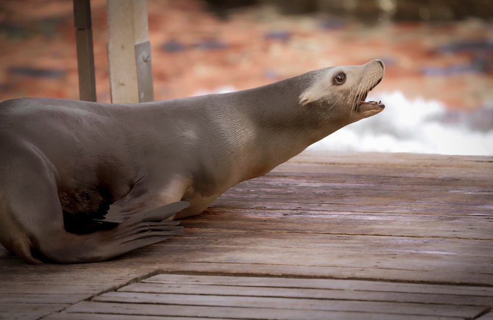 seal on brown wooden dock during daytime
