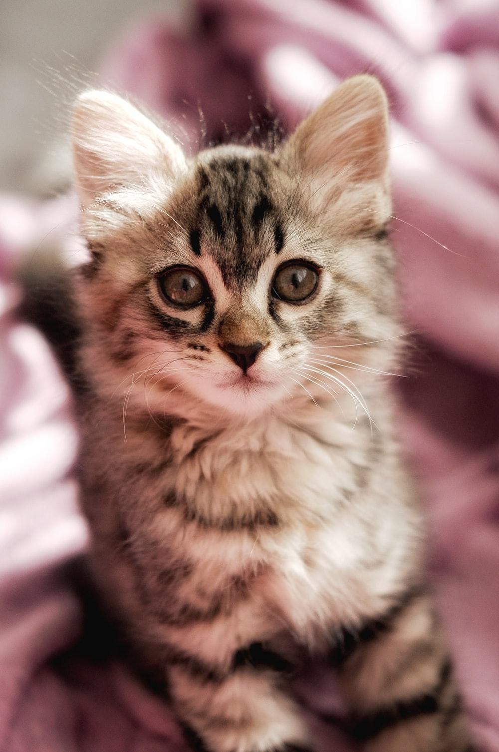 brown tabby kitten on pink textile