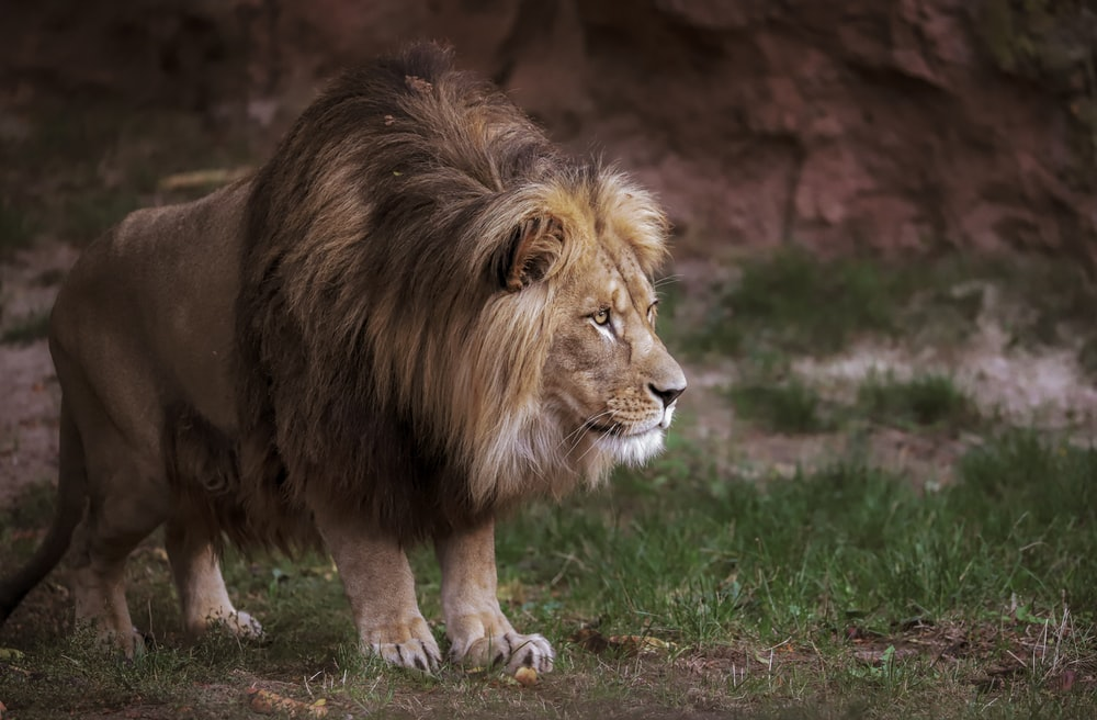 lion on green grass field during daytime