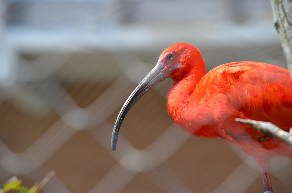 red bird in close up photography