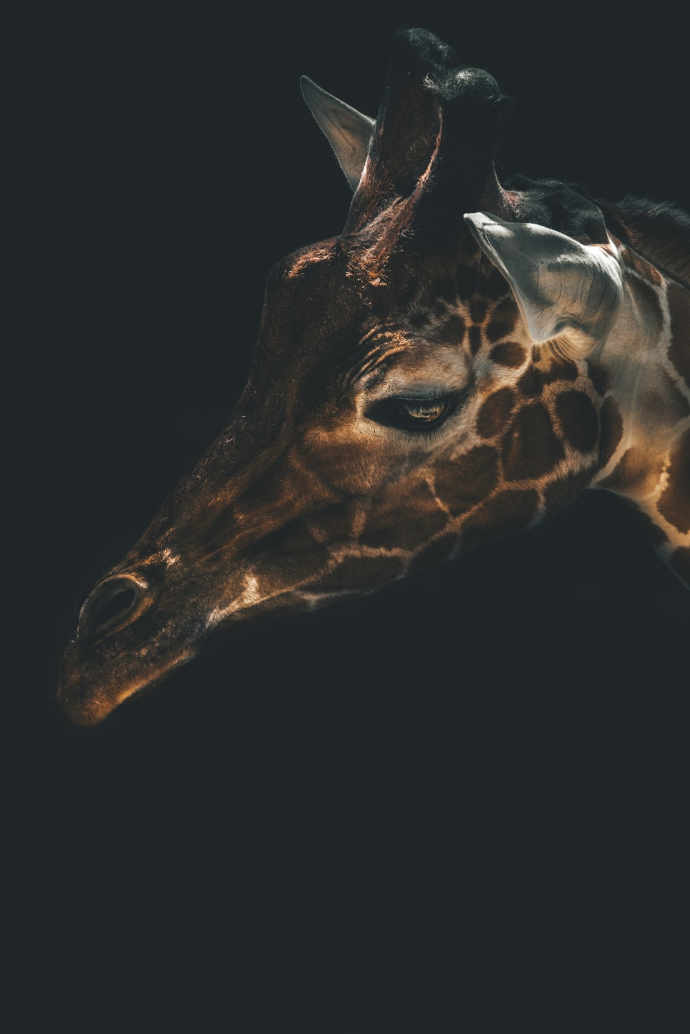 brown giraffe head with black background