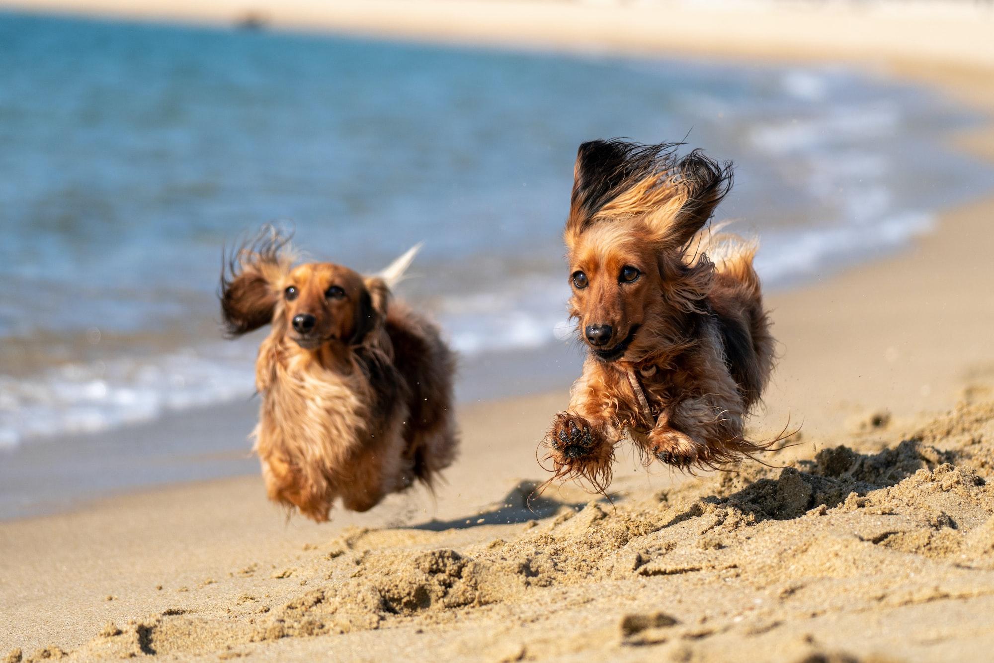 dog beach, dogs running in sand