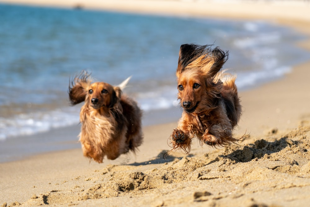 2 brown and black long coat dogs on beach during daytime