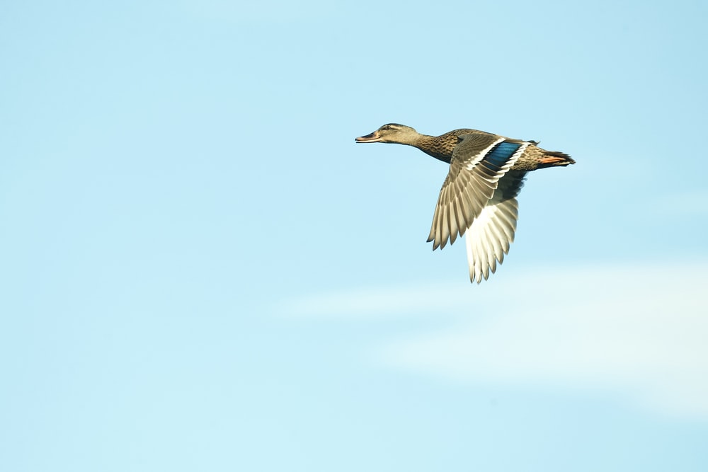 brown and white duck flying under blue sky during daytime