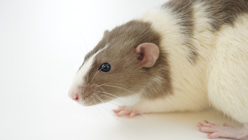 white and brown hamster on white surface