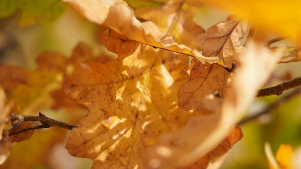 brown maple leaf on water