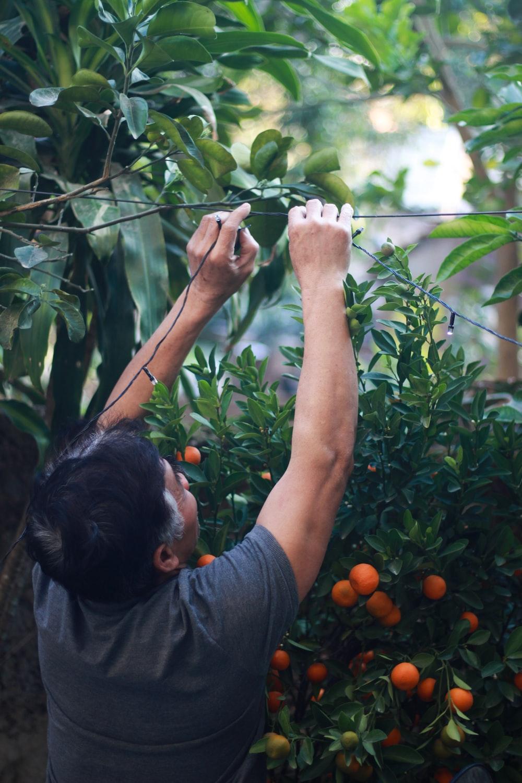 man in black t-shirt picking orange fruits