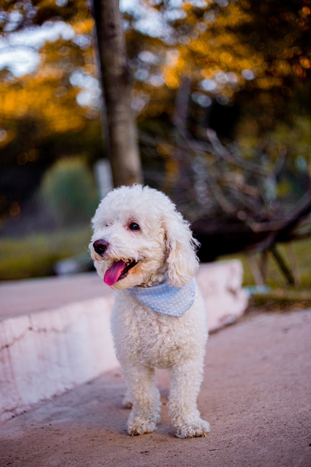 white poodle on brown wooden bench during daytime