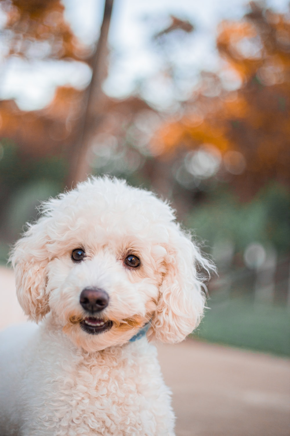 white poodle puppy on green grass field during daytime