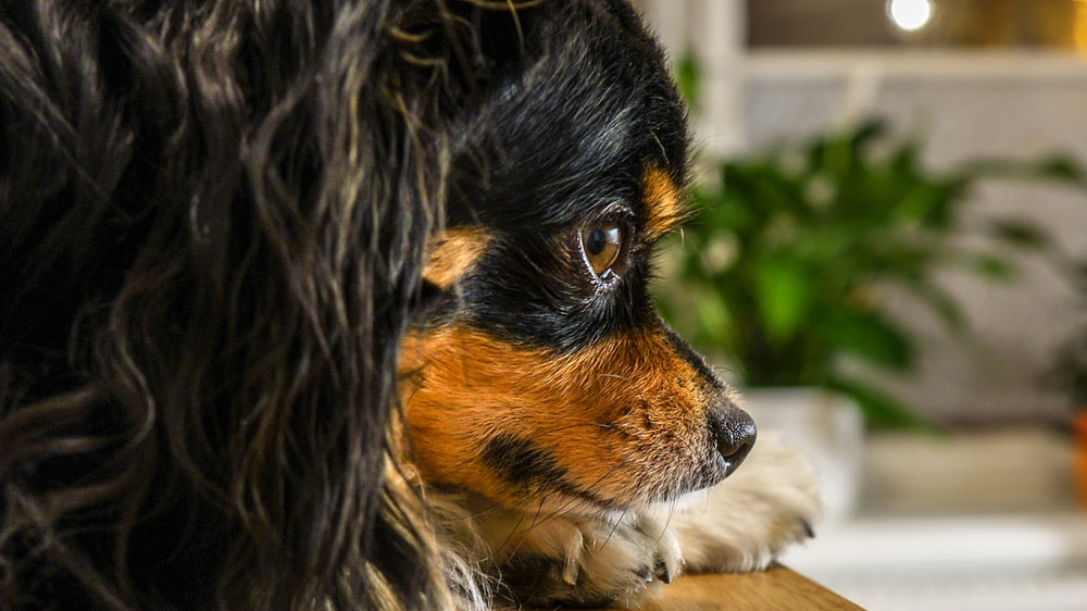 black and brown long haired small sized dog