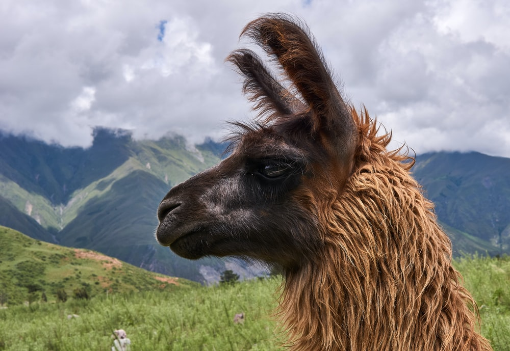 brown llama on green grass field under white clouds during daytime