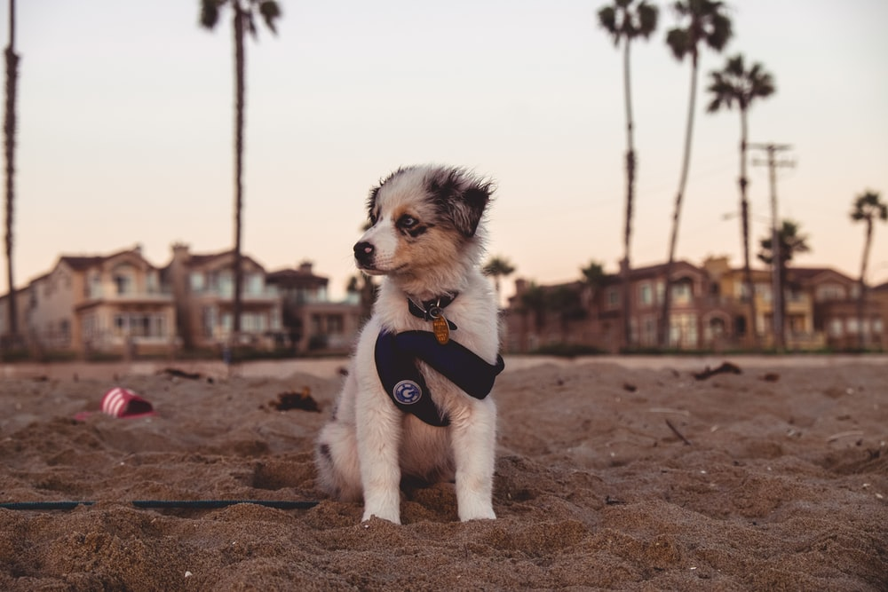 white and black puppy on brown sand during daytime