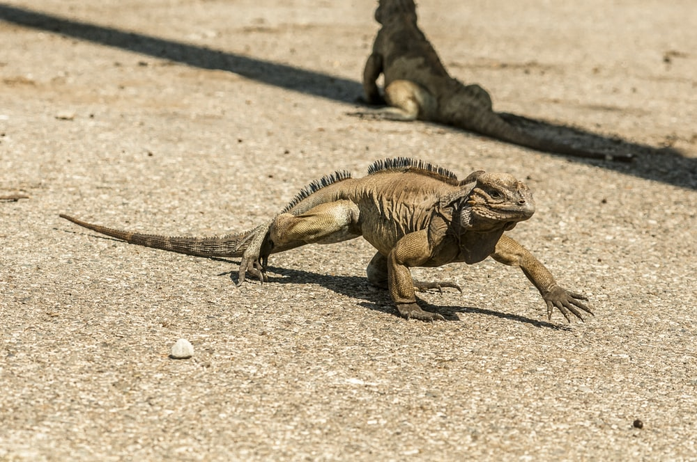 brown and green bearded dragon on brown sand during daytime