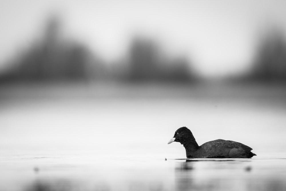 black bird on body of water