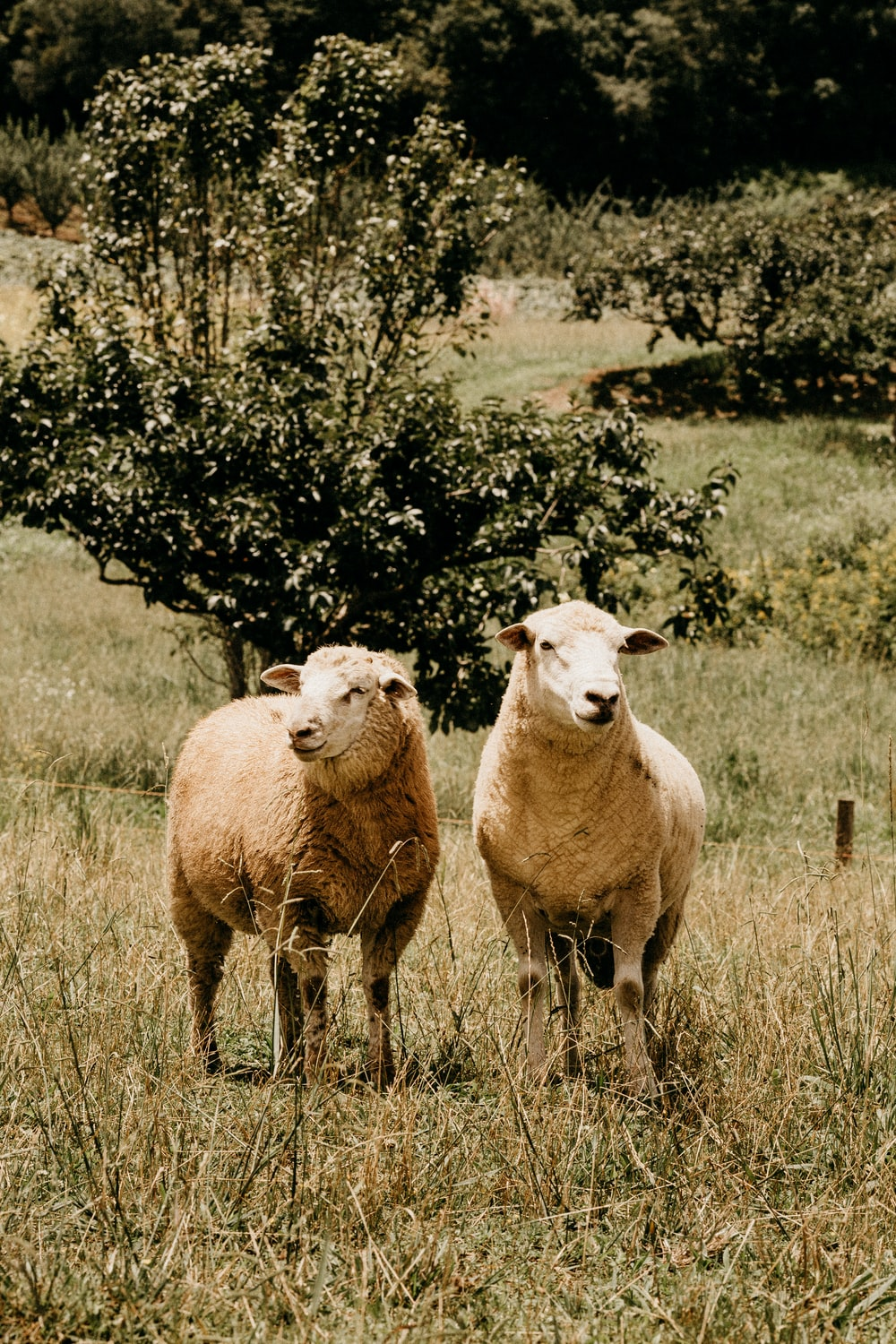 three sheep on grass field during daytime