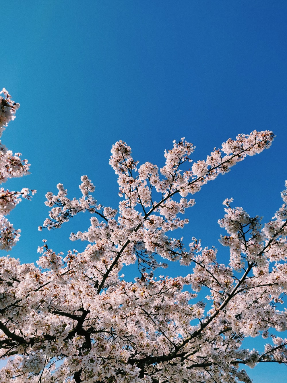 white cherry blossom under blue sky during daytime