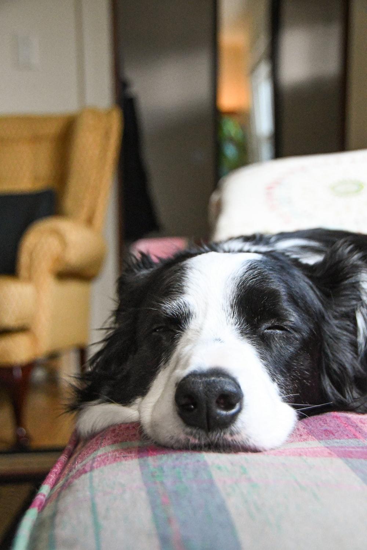 black and white short coat dog lying on pink and white textile