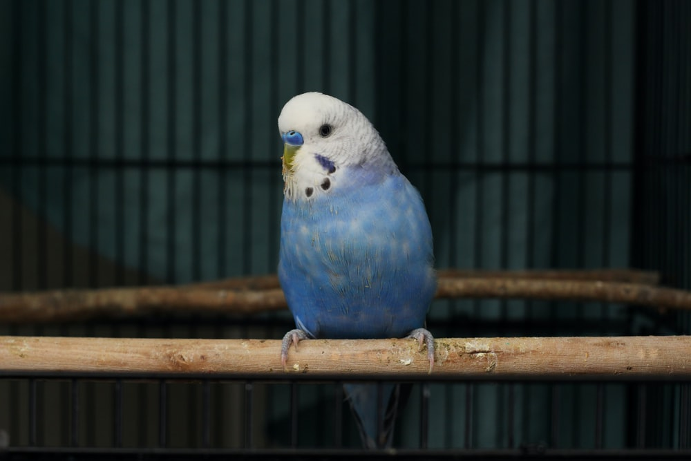blue white and yellow bird in cage