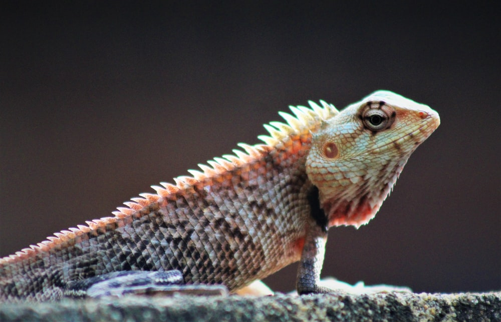 brown and white lizard on gray rock