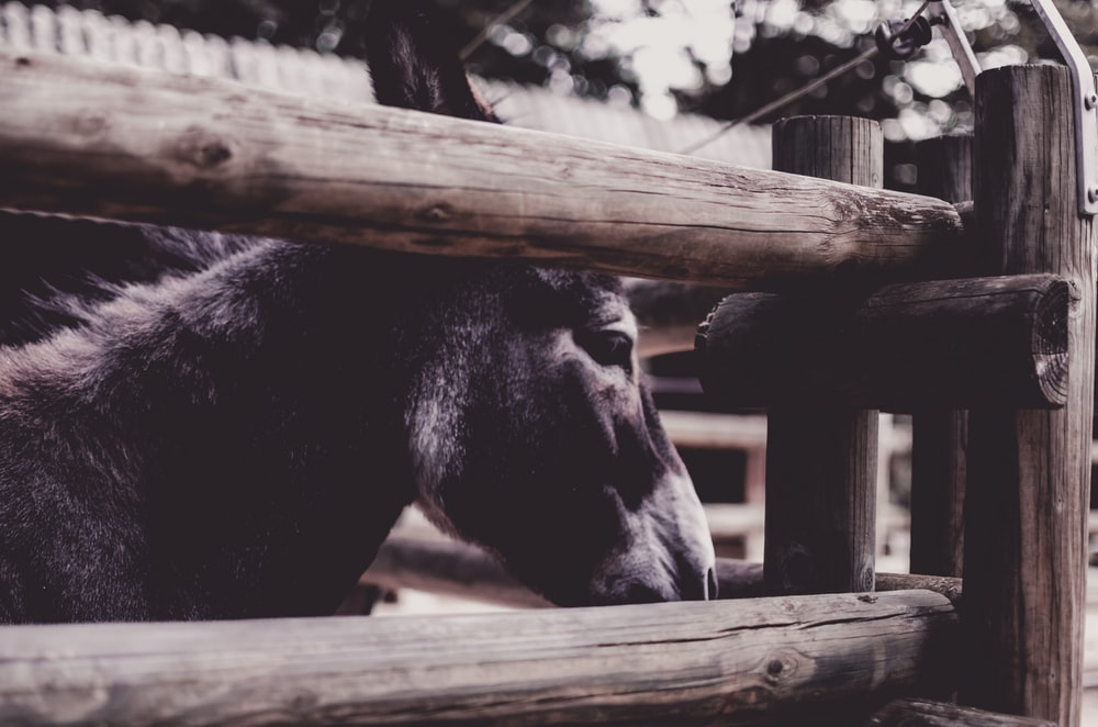 black cow on brown wooden fence