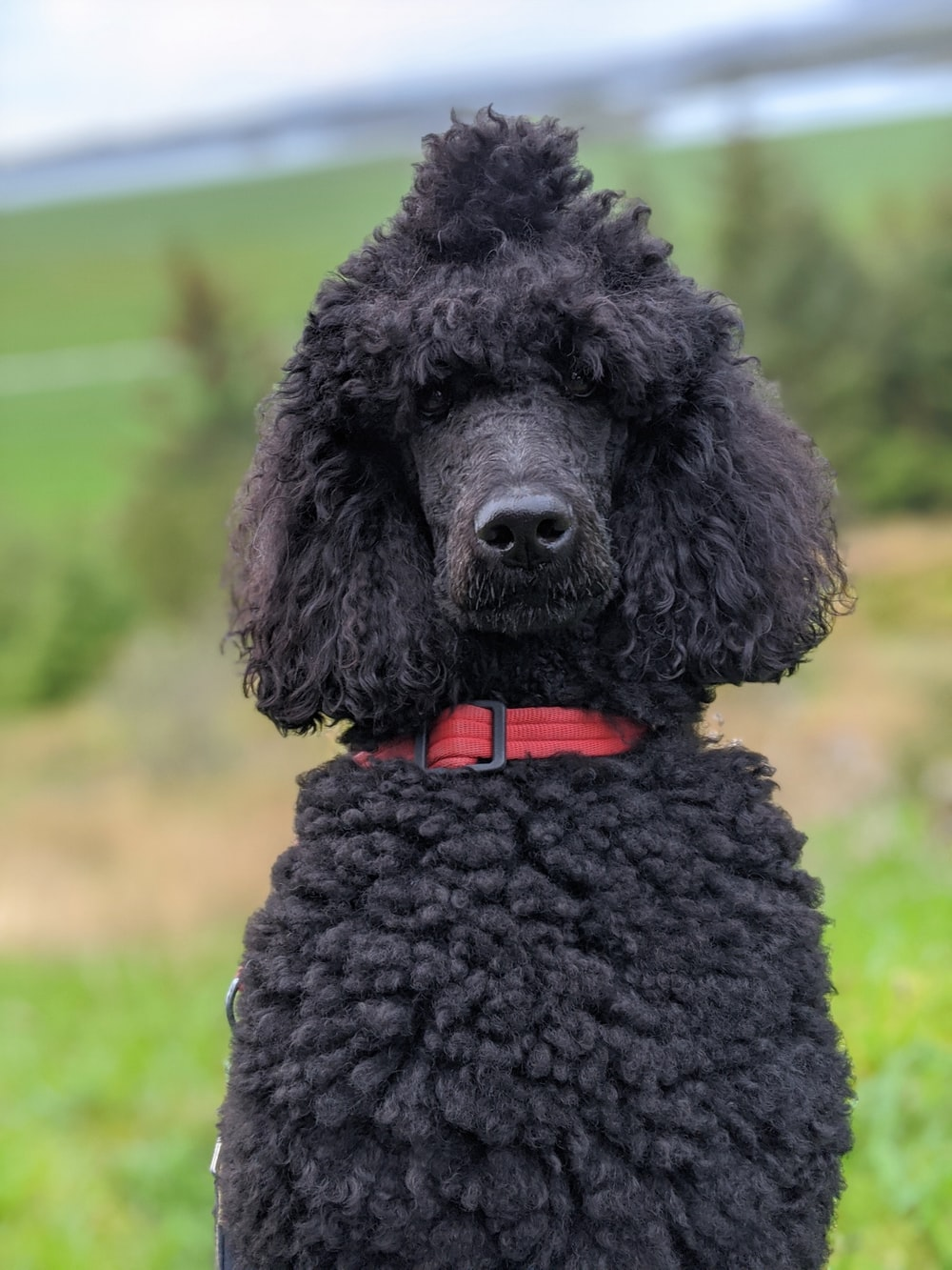 black poodle on green grass during daytime