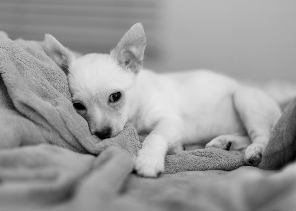 white chihuahua lying on bed